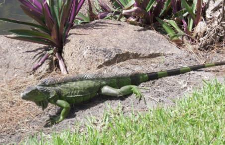 Les iguanes un terrible fléau
