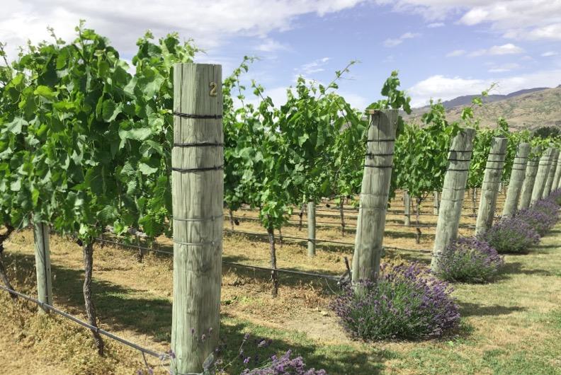 Pinot noir, Pinot gris et  Chardonnay de la Nouvelle-Zélande…
