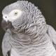 5 espèces d'oiseaux  qui font de bons  compagnons
