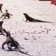 Ordonnance d'éliminer  les iguanes